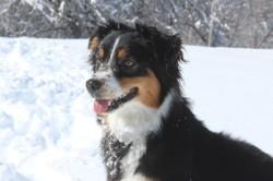 Laska, chien Berger australien