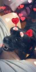 Laska, chien Bouledogue français