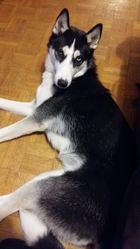 Laskia, chien Husky sibérien