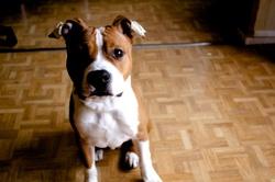 Lasko, chien American Staffordshire Terrier
