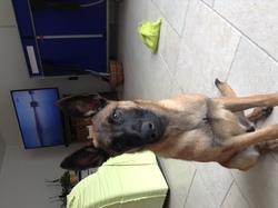 Lasko, chien Berger belge