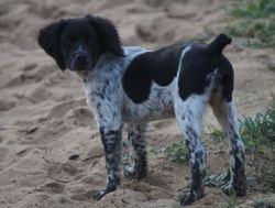 Lasko, chien Épagneul breton