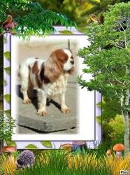 Lassa Des Joyaux D'Alésia, chien Cavalier King Charles Spaniel