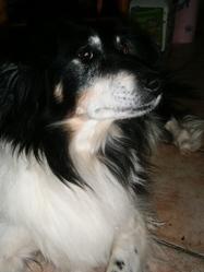 Lassie, chien Border Collie