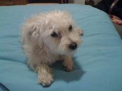 Lassy, chien Yorkshire Terrier