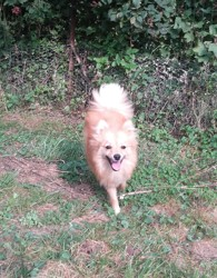 Lasya, chien Spitz allemand
