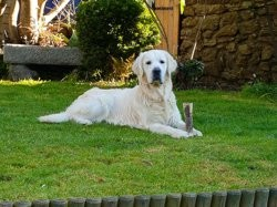 Laszlo, chien Golden Retriever