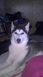 Latika, chien Husky sibérien