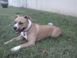 La-Tina, chien American Staffordshire Terrier