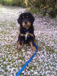 Latisha, chien Dogue du Tibet