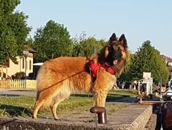 Lauda, chien Berger belge