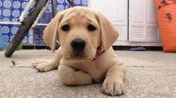 Laura, chien Labrador Retriever
