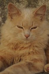 Lava, chat Européen