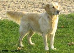 Lavande, chien Golden Retriever