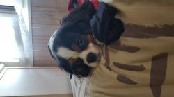 Lanvin, chien Cavalier King Charles Spaniel