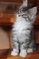 Lawson, chat Maine Coon