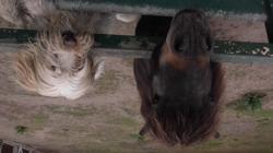 Laxo, chien Griffon belge