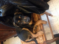 Laya, chien Beauceron