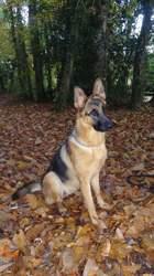 Laya, chien Berger allemand