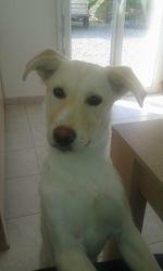 Laya, chien Labrador Retriever