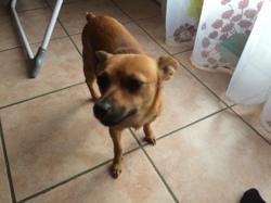 Laya, chien Pinscher