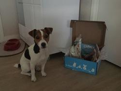 Laya, chien Jack Russell Terrier