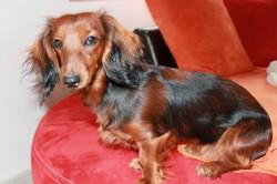 Laya, chien Teckel