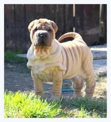 Laya, chien Shar Pei