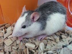 Laya, rongeur Rat