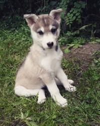Lyanna, chien Husky sibérien