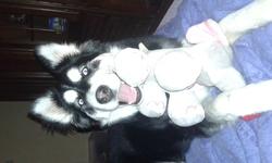 Layka, chien Malamute de l'Alaska