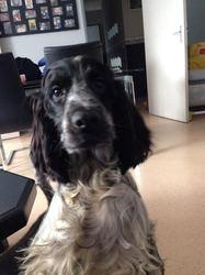 Layka, chien Cocker anglais