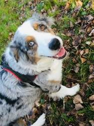Layka, chien Berger australien