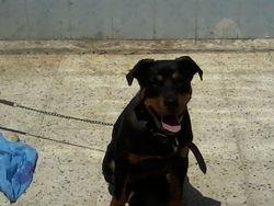 Layka, chien Rottweiler