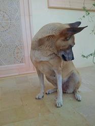 Layka, chien