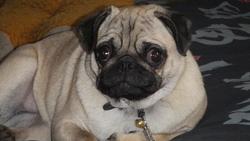 Layla, chien Carlin
