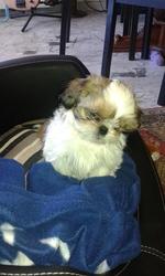 Layon, chien Shih Tzu