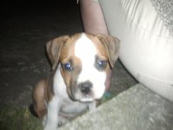 Layzie, chien Staffordshire Bull Terrier