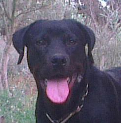 Lazar, chien Rottweiler