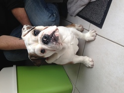 Lazy, chien Bulldog