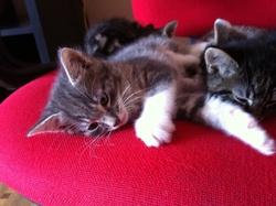 Le Gris, chat