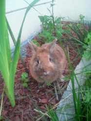 Le Lapin, rongeur Lapin
