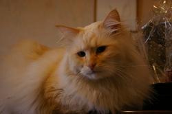 Le Mo, chat Birman