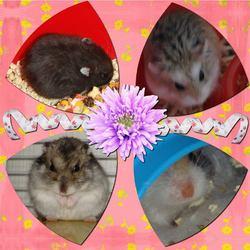 Le Paradis De Mes Boutchous, rongeur Hamster