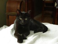 Le Petit Noir, chat