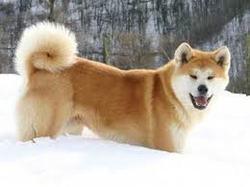 Le Roi Dees Chein, chien Akita Inu