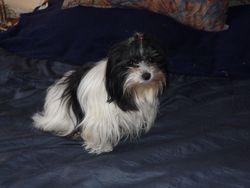 Léa, chien Bichon havanais