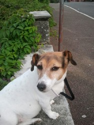 Léa, chien Jack Russell Terrier