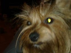 Léa, chien Yorkshire Terrier
