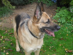 Lea, chien Berger allemand